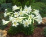 Carol Myers' lilies - Copy