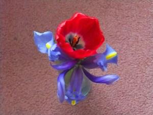 tulip and iris